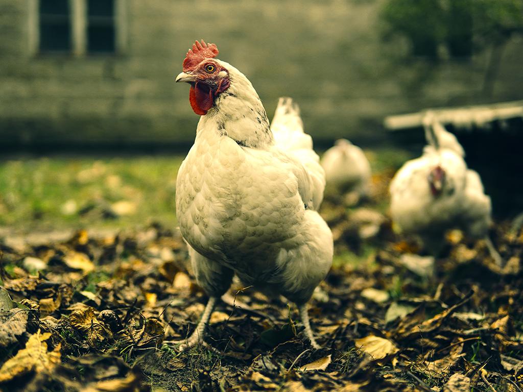 the-hen-2919071.jpg
