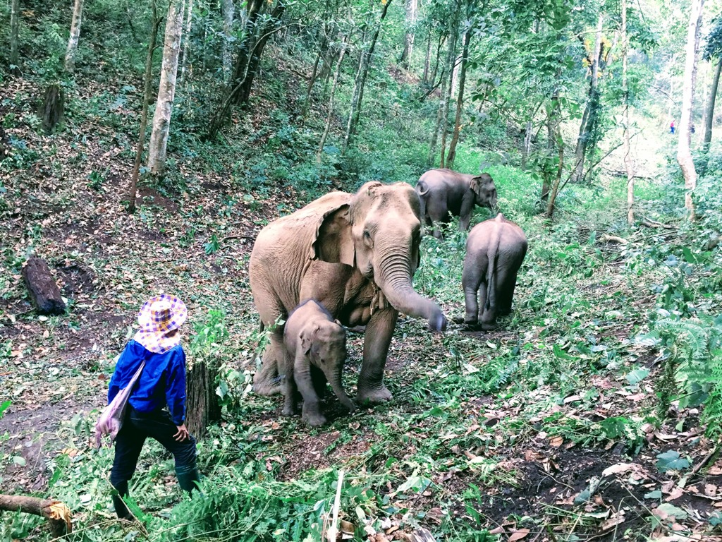 Resevanje_slonov_na_Tajskem_-_Rescue_elephants_in_Thailand_1.JPG
